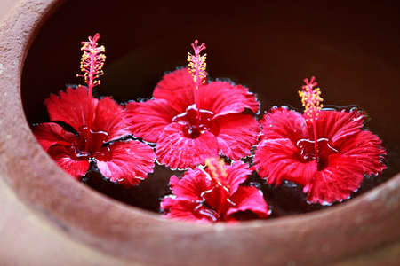 red color: Hibiscus flower in water close-up