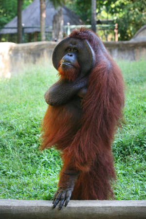 adult indonesia: Adult orangutan in zoo. Indonesia Stock Photo