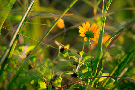 golden daisy: Spring flowers in the meadow