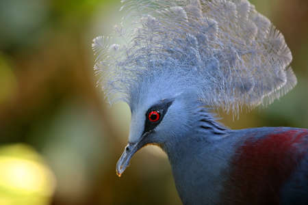 filming point of view: Beautiful Blue Crowned Pigeon (Goura) close-up