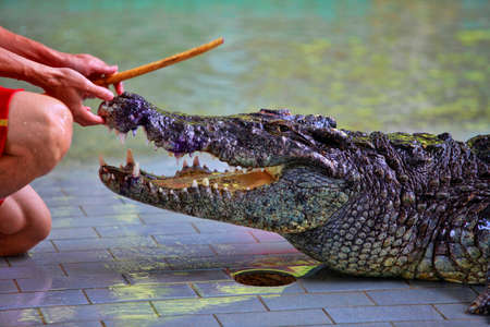 teases: Traditional for Thailand Show of crocodiles. A zoo keeper teases a crocodile. Thailand, Pattaya