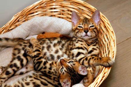 Gattini Bengala piccoli in un cesto Archivio Fotografico - 62177005