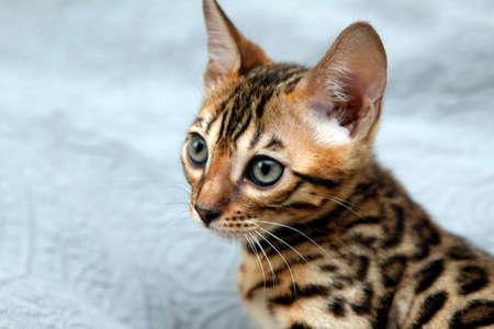 prionailurus: Small bengal kitten, isolated on blue backdrop. Stock Photo