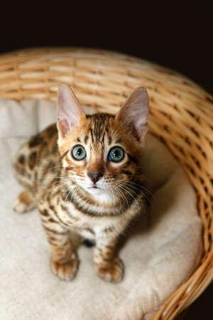prionailurus: Small bengal kitten in a basket