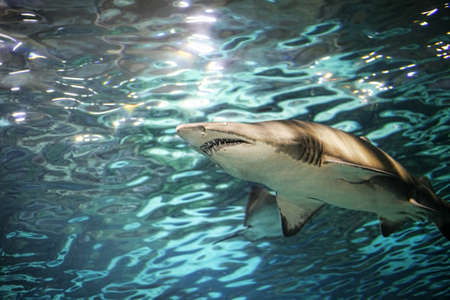 grey water: A grey shark swimming underwater. Sunbeams are shining down through the water