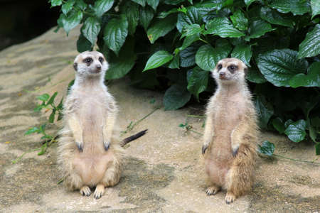 Meerkat or suricate (Suricata suricatta) is a small mammal and a member of the mongoose family. Stock Photo