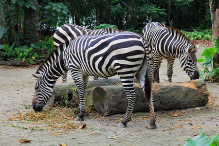 burchell: A herd of zebras in the forest