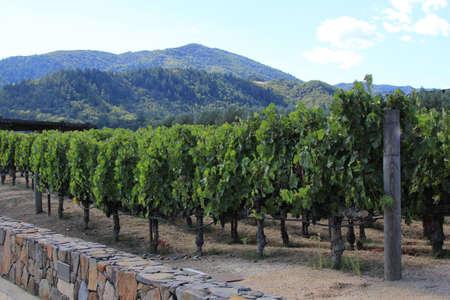 wine growing: Vineyard in the wine growing region of Napa in California.
