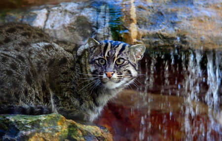resourceful: Wild cat in a zoo of San Francisco