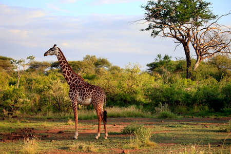 Free Giraffe in Tsavo National Park, Kenya