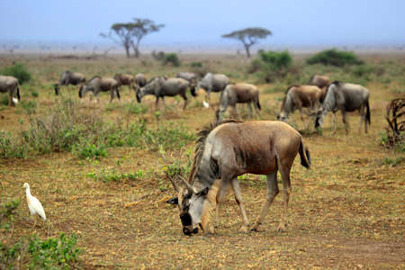 Big wildebeest migration in African Safari. Amboseli national park in Kenia