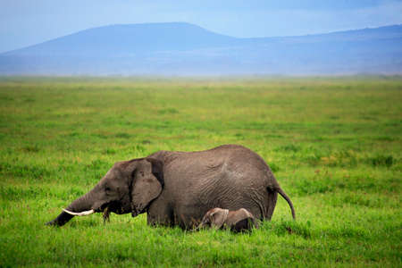 Elephants in Amboseli national park in Kenia Stock Photo