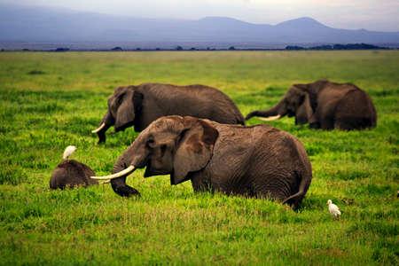 Elephants in Amboseli national park in Kenia Stock Photo