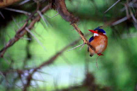 Portrait of female Common Kingfisher (Alcedo atthis) Stock Photo