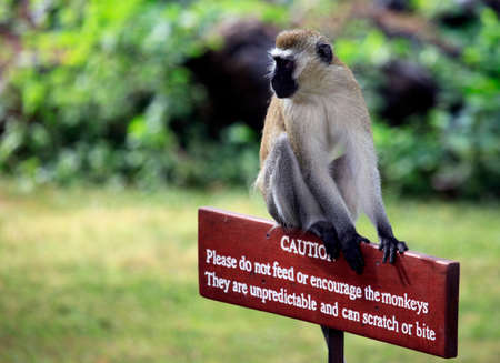 unpredictable: Monkey sitting on a wooden sign with a warning that dangerous to feed animals