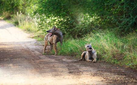 hienas: Spotted hyenas (Crocuta crocuta) standing among grasses, South Africa. Foto de archivo