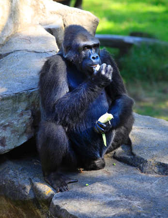 vegatation: Gorilla eating cabbage in a zoo of San Francisco Stock Photo