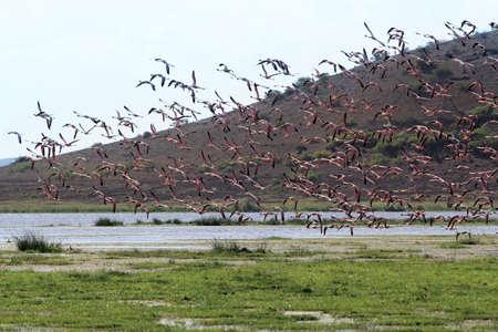 nakuru: A large flock of flamingos in the Amboseli National Park. Kenya