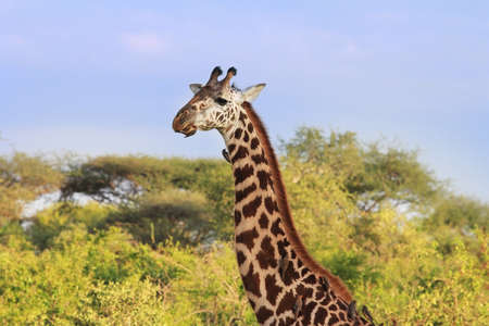 Free Giraffe with birds in Tsavo National Park. Kenya Stock Photo