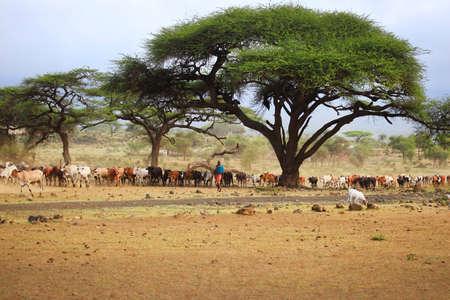third world: Mombasa, Kenya - January 01, 2017: A large herd of cows in Kenya, Mombasa
