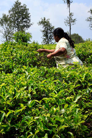 scottish female: Sri Lanka, Nuwara Eliya - April 04, 2011 : Sri Lanka woman picks fresh tea leaves on tea plantation in Nuwara Eliya, Central region, Sri Lanka