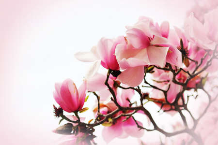 Beautiful magnolia flower on pink background