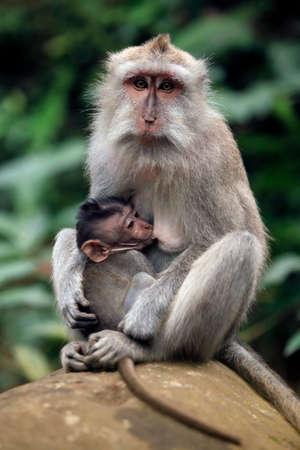 simian: Family of monkeys. Monkeys forest on Bali. Indonesia