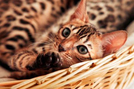 Small bengal kitten in a basket
