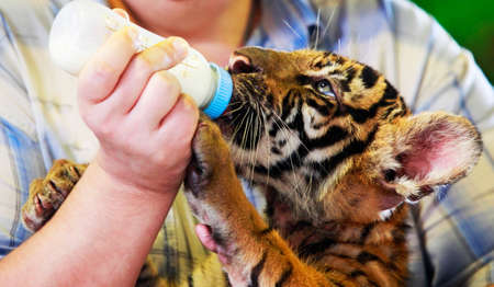 Feeding a tiger out of the bottle Stock Photo