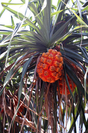 Pandanus palm with green leaves and ripe fruits nature background Standard-Bild