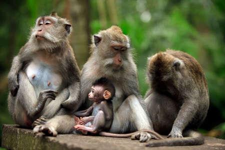 Family of monkeys. Bali a zoo. Indonesia 版權商用圖片