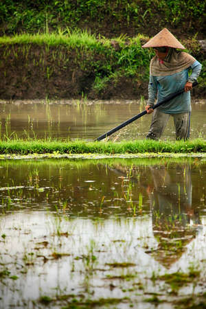 Bali. Indonesia, 14 July 2010: Overview of a typical asian woman working on rice cultivation in a field flooded with water in the plains surrounding Bali, Indonesia