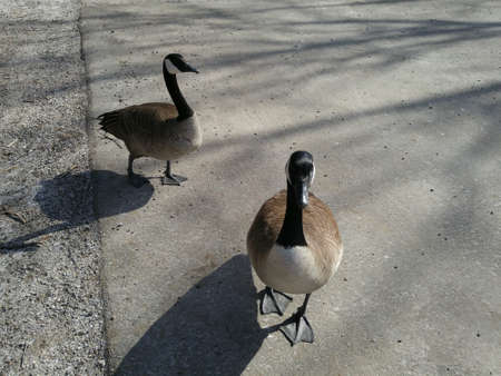 Two Canada Geese playing Follow the Leader