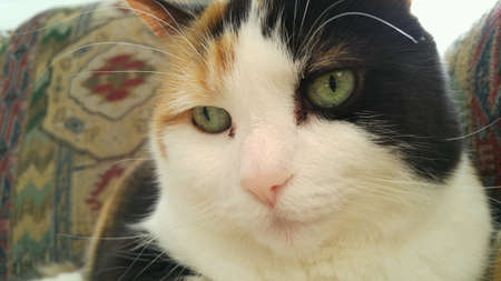 calico: Contented Calico Cat