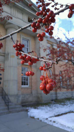 Red berries hanging from leafless branch in winter
