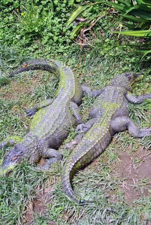 Two crocodiles basking in the sun lying head to tail