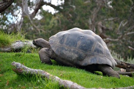 large turtle: Large turtle walking uphill on a grass slope Stock Photo