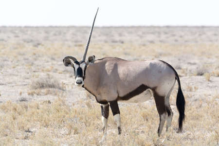 oryx: Oryx with a straight and a curved horn