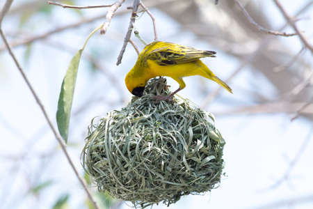 weaver bird nest: Weaver Bird Nest on Stock Photo