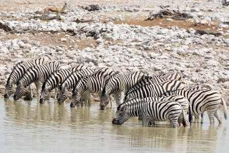 pozo de agua: Cebras en el pozo de agua Foto de archivo