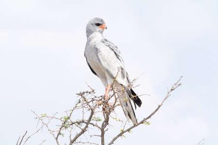 chanting: Pale Chanting Goshawk in tree, Etosha National Park, Namibia