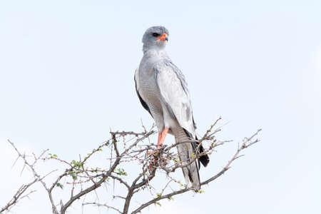 goshawk: Pale Chanting Goshawk in tree, Etosha National Park, Namibia