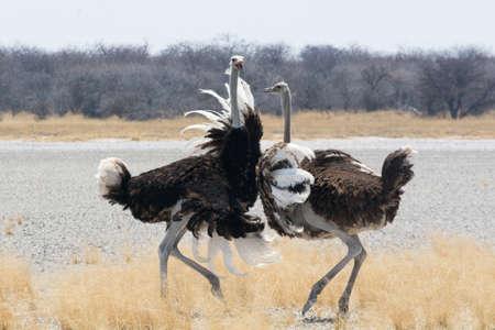 combate: Dos avestruces lucha, Namibia Foto de archivo