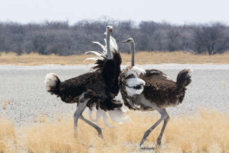 animal fight: Two fighting Ostriches, Namibia Stock Photo