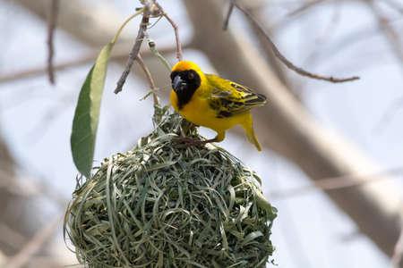 weaver bird nest: male yellow bird building a nest Weaver
