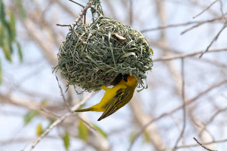 weaver bird nest: male yellow bird building a nest Weaver