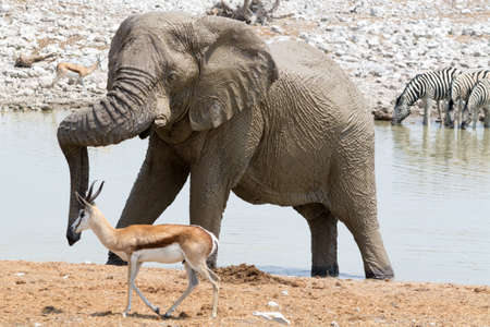 waterhole: elefante y los Springboks en la charca