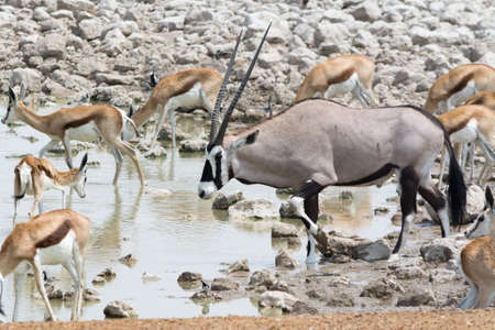 waterhole: Oryx and Springbok at waterhole