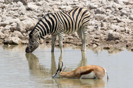 waterhole: Zebra and Springbok in waterhole Stock Photo