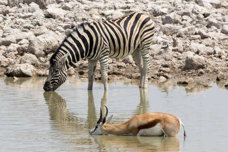 springbok: Zebra and Springbok in waterhole Stock Photo